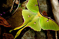 800px-An_Arkansas_Luna_Moth