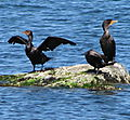 IMG_1435 (cormorants)
