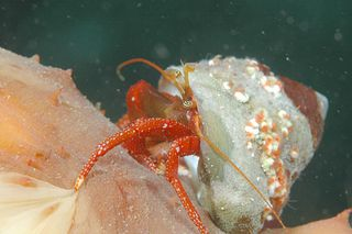 Hermit_crab_on_sea_cucumber